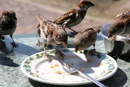 Sparrows in Marken