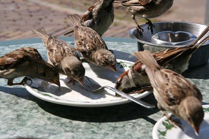 Sparrows in Marken