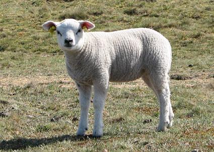 Cute lambkin
