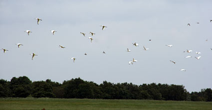 Spoonbills at Waverhoek