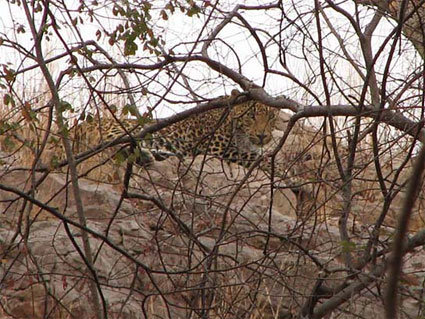 Leopard Ranthambore