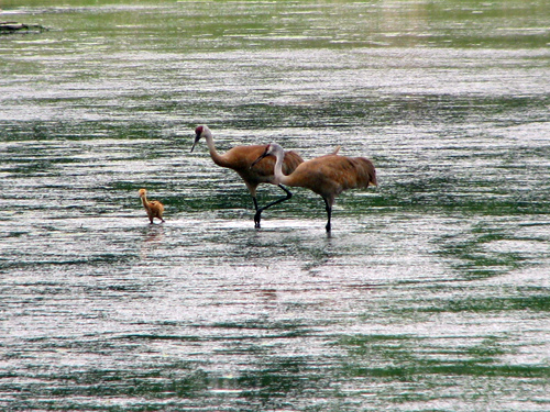 Sandhill Cranes with baby at Rollins Savanna