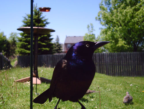 female common grackle. Common Grackle
