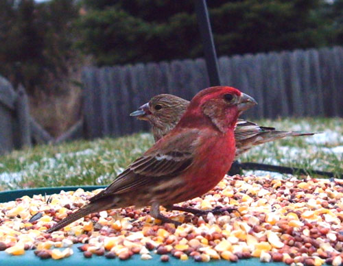 Charmant House Finch