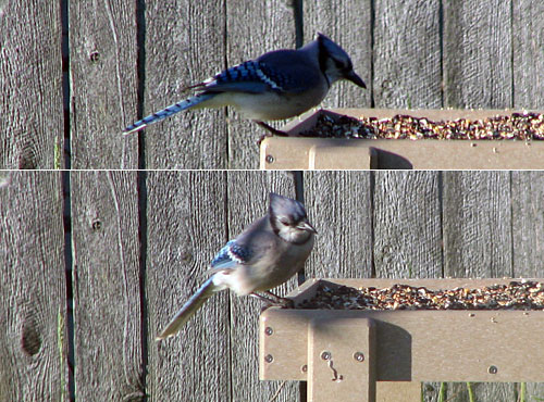 Blue Jay at backyard feeder