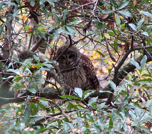 Barred Owl at Great Swamp Sanctuary