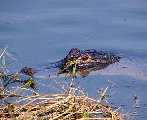 American Alligator at Viera Wetlands