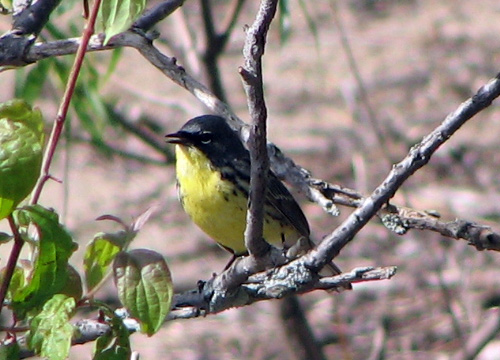 Kirtland's Warbler on the beach near Magee Marsh