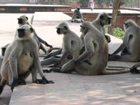 Hanuman Langur monkeys at Akbar's Mausoleum, Agra, India
