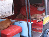 Dogs catch a nap in a rickshaw in Bikaner, Rajasthan, India