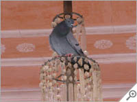 Pigeon in a chandelier in Jaipur
