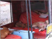 Dogs in a rickshaw in Bikaner
