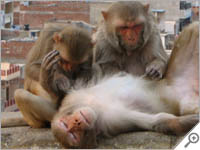Relaxing monkey in Jaipur