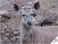 Deer sticks her tongue out