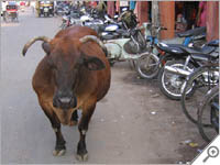Cow walking a street in Jaipur