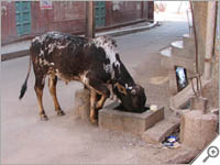 Cow munching on a street in Bikaner