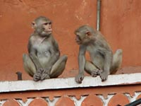 Monkeys in Jaipur