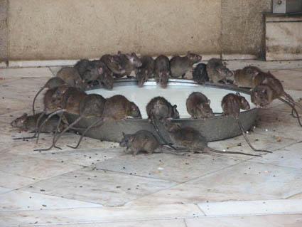 IMAGE(http://www.wolfstad.com/wp-content/2006/karnimata/lotsa-rats-at-bowl-only.jpg)