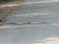 Snake, Krait in Keoladeo National Park, Bharatpur, India