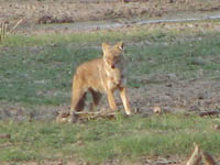 Dhole or Wild Dog in Keoladeo National Park, Bharatpur, India