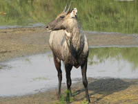 Nilgai in Keoladeo National Park, Bharatpur, India