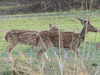 Spotted Deer in Keoladeo National Park, Bharatpur, India