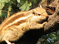 Five-striped Palm Squirrel in Keoladeo National Park, Bharatpur, India