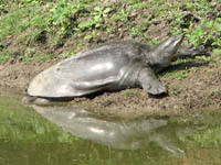 Turtle in Keoladeo National Park