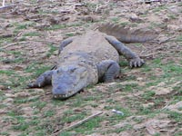 Marsh Crocodile in Ranthambhore National Park