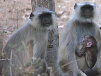 Langur monkey in in Ranthambhore National Park