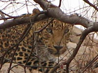 Leopard in Ranthambhore National Park, India