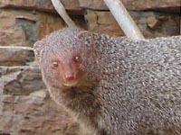 Mongoose in Ranthambhore National Park, India