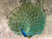 Peacock in Ranthambhore National Parkalace