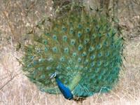 Peacock in Ranthambhore National Parkalace