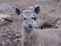 Sambar deer in Ranthambhore National Park