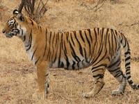 Tiger in Ranthambhore National Park, India