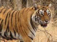Tiger in Ranthambhore National Park, India