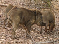 Wild boar in Ranthambhore National Park, India