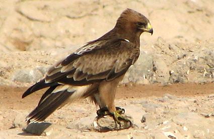 Black Kite at Sharm El Sheikh sewage ponds