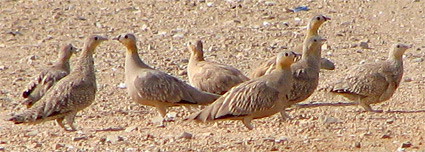Spotted and Crowned Sandgrouse at Sharm El Sheikh sewage ponds
