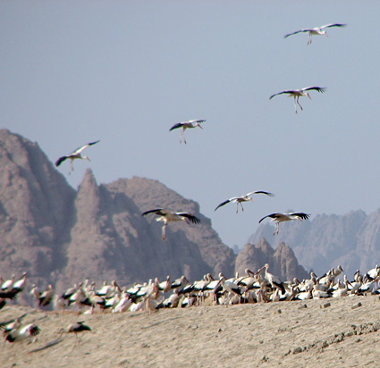 White Storks landing at Sharm el Sheikh sewage ponds.