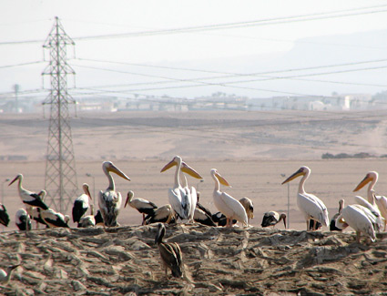 White Pelicans at Sharm El Sheikh sewage ponds