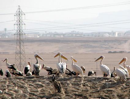 White Pelicans at Sharm El Sheikh sewage ponds