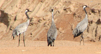 Common Cranes at Sharm El Sheikh sewage ponds
