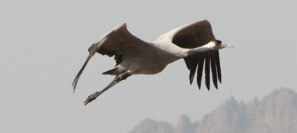 Common Crane at Sharm El Sheikh sewage ponds