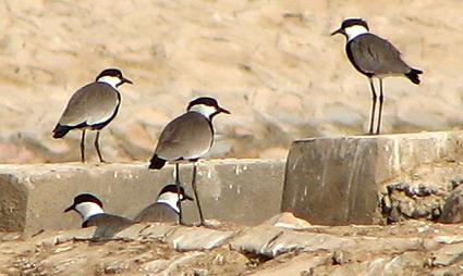 Spur-winged Plovers at Sharm El Sheikh sewage ponds
