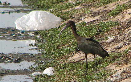 Glossy Ibis at Sharm El Sheikh sewage ponds
