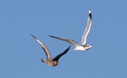 Pomarine Jaegers chasing a gull