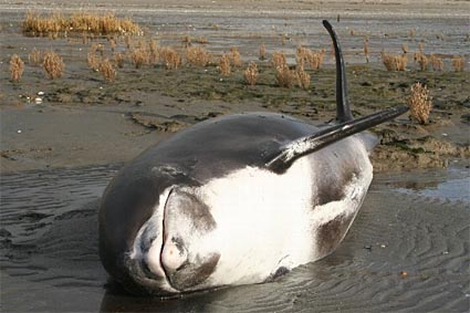 Stranded white-beaked dolphin at the Oostvoornsemeer
