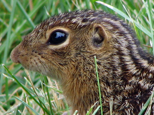 Super-cute thirteen-lined Ground Squirrel at Wolfstad.com